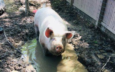 Pig News! [ FARM UPDATE ]
